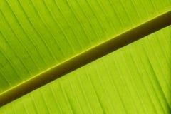 Feche acima de uma folha verde retroiluminada da banana Foto de Stock Royalty Free