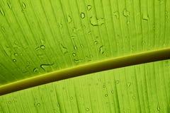 Feche acima de uma folha verde retroiluminada da banana com gotas de água Foto de Stock Royalty Free