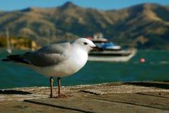 Feche acima de uma gaivota ereta em Akaroa, Nova Zelândia foto de stock
