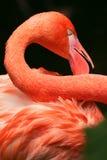 Feche acima de uma garganta e das penas do flamingo Fotografia de Stock Royalty Free