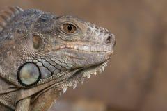 Feche acima de uma iguana azul imagens de stock