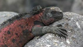 Feche acima de uma iguana marinha colorida vermelha no espanola do isla nos Galápagos fotografia de stock