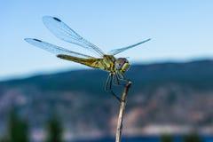Feche acima de uma libélula do voo imagens de stock