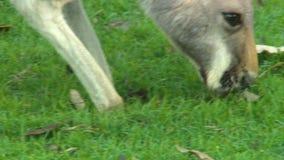 Feche acima de uma lupulagem do canguru para a frente para comer filme