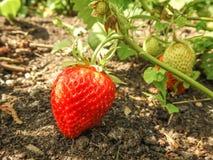 Feche acima de uma morango madura em um jardim imagem de stock