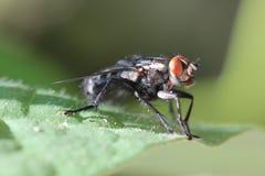 Feche acima de uma mosca Fotografia de Stock Royalty Free