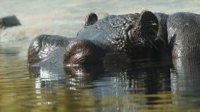 Feche acima de uma nadada do hipopótamo na água video estoque