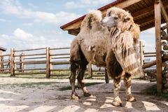 feche acima de uma opinião o camelo humped dois que está na cerca fotos de stock royalty free