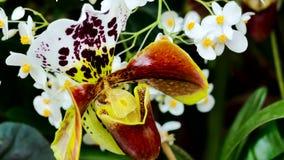 Feche acima de uma orquídea do marrom, a amarela e a branca da senhora do ` s de deslizador na flor completa filme
