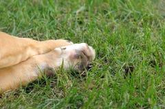 Feche acima de uma pata do amstaf do cão em uma grama Imagem de Stock Royalty Free