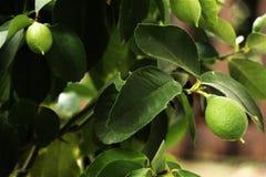 Feche acima de uma planta do limão imagens de stock royalty free
