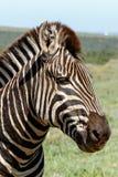 Feche acima de uma posição da zebra Fotografia de Stock