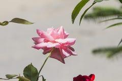 Feche acima de uma rosa do damasco na flor completa com folhas verdes em uma luz agradável - cinzenta - fundo marrom fotografia de stock