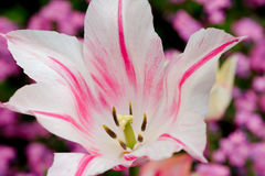 Feche acima de uma tulipa Fotos de Stock