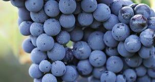 Feche acima de uma uva azul com gotas de orvalho video estoque