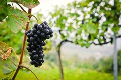 Feche acima de uma uva vermelha Fotos de Stock