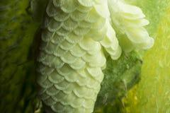 Feche acima de uma vagem da semente da planta do Milkweed Fotos de Stock Royalty Free