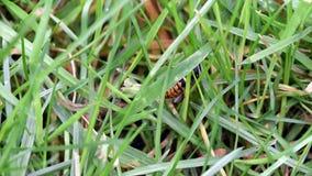 Feche acima de uma vespa que tenta escalar uma lâmina de grama filme