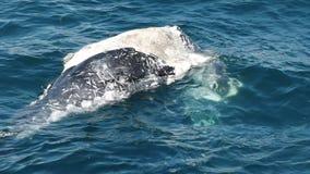 Feche acima de uma vitela inoperante da baleia no merimbula na costa sul do nsw, Austrália vídeos de arquivo