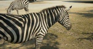 Feche acima de uma zebra vídeos de arquivo
