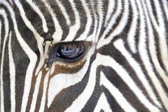 Feche acima de uma zebra Fotografia de Stock
