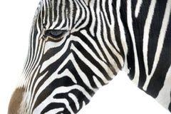 Feche acima de uma zebra Fotos de Stock Royalty Free
