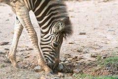 Feche acima de uma zebra mais nova que anda e que come a folha Fotos de Stock Royalty Free