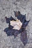 Feche acima de velho desvanecem-se hera em uma parede Fotos de Stock Royalty Free