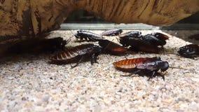 Feche acima do ½ de silvo do ¿ do cockroachï de Madagáscar (portentosa de Gromphadorhina) que limpa suas antenas com seus pés video estoque