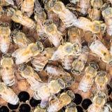 Feche acima do ácaro de varroa na abelha fotos de stock