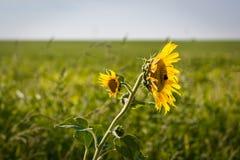 Feche acima do único girassol selvagem com dois pontos da flor no luminoso que fica no vento imagens de stock