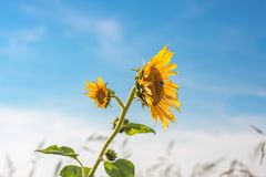 Feche acima do único girassol selvagem com dois pontos da flor no luminoso que fica no vento, céu azul imagem de stock royalty free