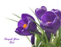 feche acima do açafrão bonito no fundo branco - flores frescas da mola O açafrão violeta floresce o ramalhete Fotos de Stock