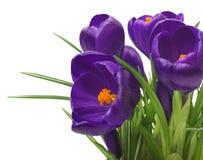 feche acima do açafrão bonito no fundo branco - flores frescas da mola O açafrão violeta floresce o ramalhete Fotografia de Stock