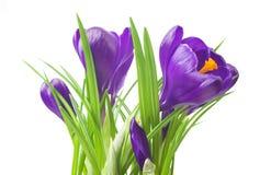 feche acima do açafrão bonito no fundo branco - flores frescas da mola O açafrão violeta floresce o ramalhete Imagem de Stock