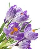 feche acima do açafrão bonito no fundo branco - flores frescas da mola O açafrão violeta floresce o ramalhete Foto de Stock