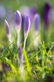 Feche acima do açafrão na grama da mola Foto de Stock Royalty Free