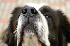 Feche acima do açaime do cão Imagem de Stock