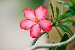 Feche acima do Adenium tropical do rosa da flor imagens de stock royalty free