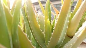 Feche acima do aloés Vera Plant imagens de stock