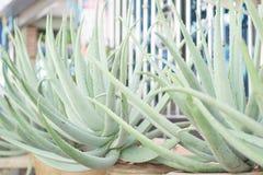 Feche acima do aloés Vera Plant em uns potenciômetros Fotografia de Stock Royalty Free