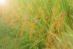 Feche acima do arroz de amadurecimento imagens de stock royalty free