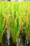 Feche acima do arroz 'paddy' verde Imagem de Stock Royalty Free