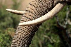 Feche acima do as presas dos elefantes imagem de stock royalty free