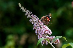 Feche acima do atalanta colorido do vanessa o almirante vermelho que obtém o néctar do arbusto de borboleta cor-de-rosa Profundid fotos de stock