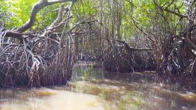 Feche acima do barco que flutua através dos pântanos dos manguezais com vegetação de floresta cênico, o arvoredo denso das árvore video estoque