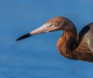 Feche acima do bico e da cabeça avermelhados do Egret imagens de stock