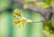 Feche acima do botão no ramo de árvore, crescimento novo Imagens de Stock