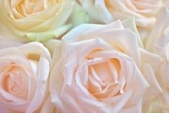 Feche acima do branco levantou-se Fundo abstrato da flor Flores feitas com filtros de cor Imagens de Stock