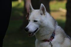 Feche acima do cão de puxar trenós bonito do cão, a raça ártica magestic imagem de stock royalty free